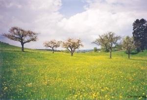 Frühlingswiese am Bodanrück bei Konstanz (ca. 1997)